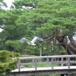cranes taking flight, Japan