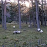 sheep in the woods at Glengairn